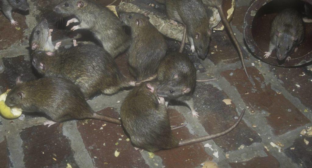 уничтожение крыс в Грозном